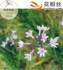 紫娇花图片