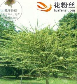 叉叶木图片