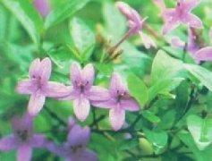 大花钩粉草
