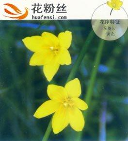黄花葱兰图片