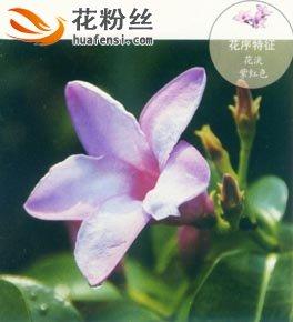 橡胶紫茉莉