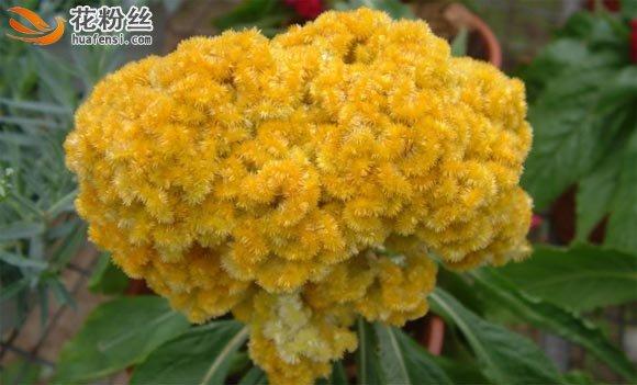 黄色的鸡冠花大型花朵