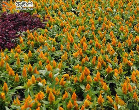 大片丛植的黄色鸡冠花