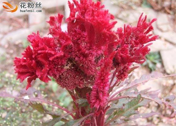 玫红色的鸡冠花花朵大图
