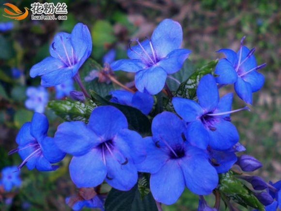 深蓝色的可爱近照,紫色的花蕊
