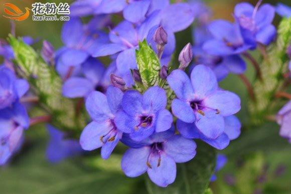 紫蓝色的可爱花朵,五瓣花瓣,花心部深紫色