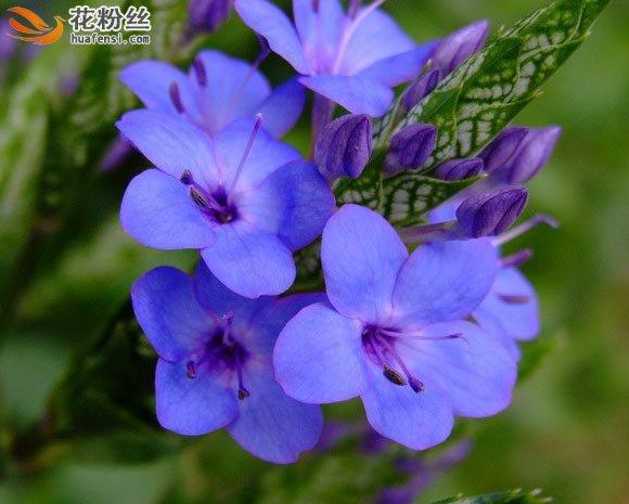 盛开的可爱花和没绽放的可爱花花苞