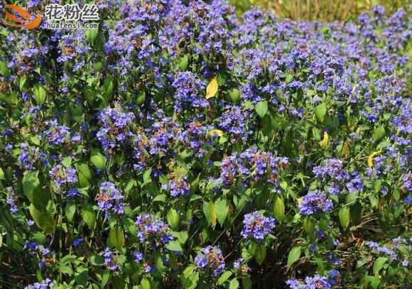 片植的可爱花,大片盛开蓝色花海