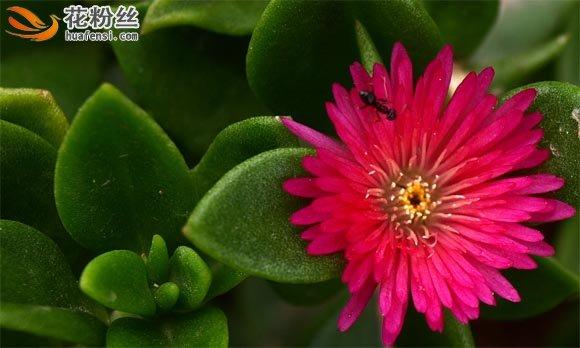 一只蚂蚁爬在盛开的心叶冰花的花朵上