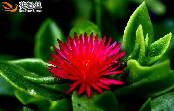 心叶冰花肉质的叶子托着玫红色的花朵