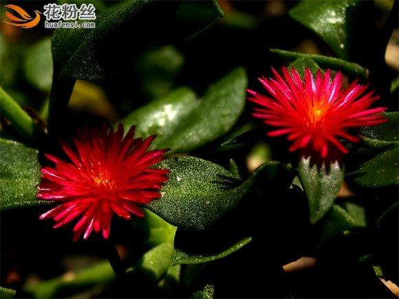 两朵绽放的心叶冰花花朵,细长的花瓣围着花蕊