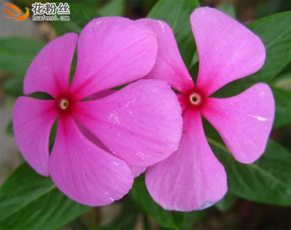 粉红色的长春花近距离特写