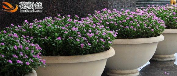 大型盆栽中的长春花,摆放大门两边非常别致