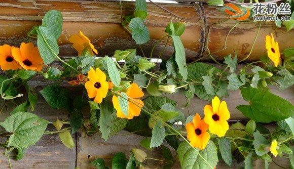 蔓生在棚架上的黑眼花,朵朵绽,黄色之间一粒黑