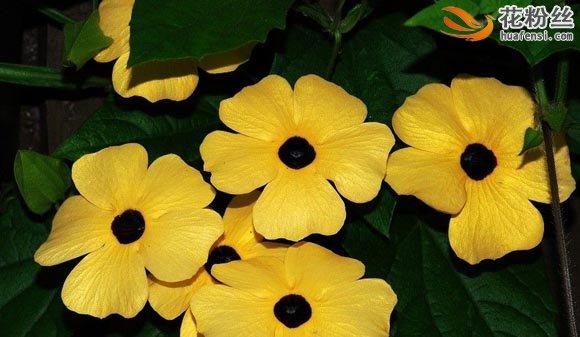 五朵盛开的黑眼花,在绿叶中躲躲藏藏