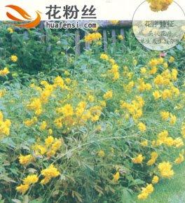 重瓣金光菊