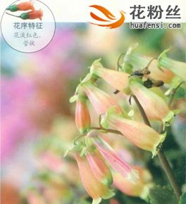 宫灯长寿花