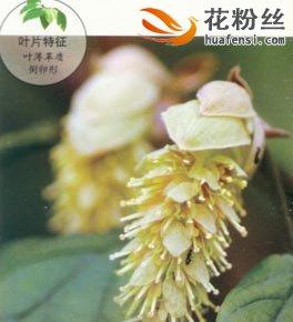 大果蜡瓣花