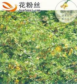 红花锦鸡儿