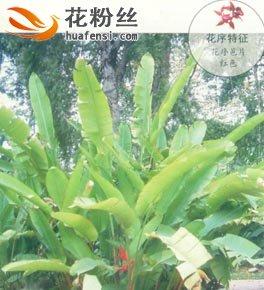 富红蝎尾蕉
