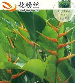 黄苞蝎尾蕉
