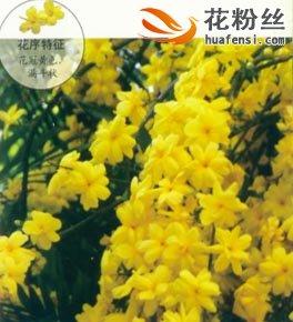云南黄素馨