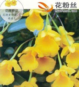 小黄花石斛