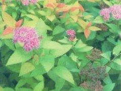金焰绣线菊