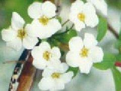 李叶绣线菊