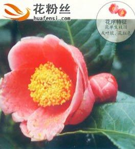 越南抱茎茶