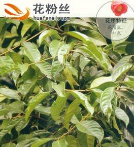 广宁红花油茶