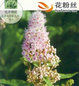 柳叶绣线菊