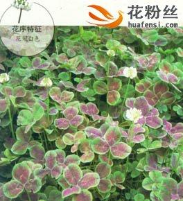紫叶三叶草