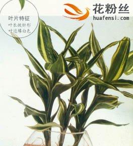 银边富贵竹