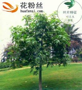 槭叶酒瓶树
