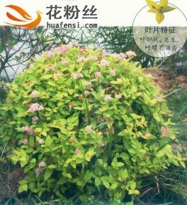 金山绣线菊