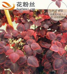 红叶酢浆草