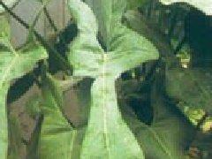 鸡冠花繁殖方式图片